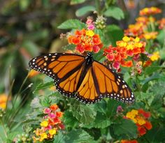 butterfly on lantana on Dauphin Island