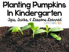 Are you planting pumpkins in kindergarten (or preschool and first)?  Here are some great tips and trick so it's stress free! Jennifer from Simply Kinder