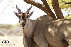 Eland. Wildlife photo taken at Dronfield Nature Reserve outside Kimberley. #eland #wildlife #nature #photography #gertjgagiano