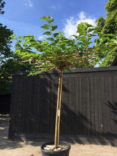 Morus platanifolia 'Fruitless'