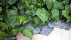 Efeu vermehren: Für ein grünes Efeu-Meer