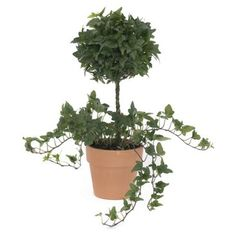 """Check out this item at One Kings Lane! 15"""" Ivy Topiary in Pot, Live"""