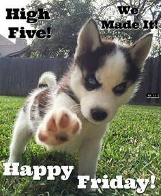 GOOD MORNING! HAPPY FRIDAY!  #goodmorningpost #goodmorning #gm #good #morningpost #morning #happy #happyfriday #friday #fridaymood #dogs #huskypuppy #husky #puppy❤️ #puppy #puppydog #tgif #fridaymorning #fridays #puppiesofinstagram #photography #tea #photo #highfive #paw #coffee #cuteanimals #animals