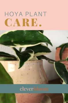 Learn how to care for the Hoya Plant. From light requirements, to soil types, and water needs. Easy to follow instructions.