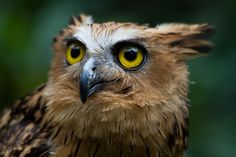 """""""Night fisherman"""" Brown fish owls are distributed throughout most of the warm subtropical and humid regions of continental Asia and parts of SE Asia. (Deborah Pearse)"""