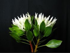 Protea King Artic Ice Plant Leaves, Floral, King, Art, Palmas, Gardens, Art Background, Flowers, Kunst