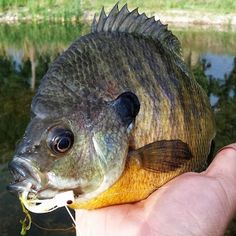Bluegill. Wish I was