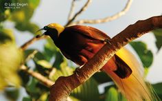 king of saxony bird of paradise - Google Search