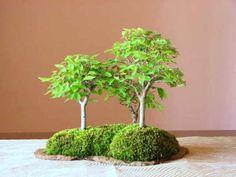 けやき(3本) - 盆栽・ミニ盆栽・苔玉の通販サイト|みくに園