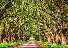 A Southern Lane 2 - Paint.  A lovely half mile lane of live oaks through the rich farm land near Evergreen Plantation, Louisiana.