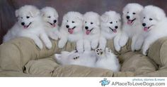 super happy samoyeds awfully clean as well.