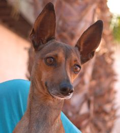 Nefertiti, a majestic, yet bashful little lady, debuts for adoption today at Nevada SPCA (www.nevadaspca.org). She is an Italian Greyhound (with erect ears instead of rose ears), 4 years of age, now spayed. Nefertiti enjoys other sweet dogs and she is drawn to gentle people. She was found on the Vegas streets with no sign of responsible ownership.