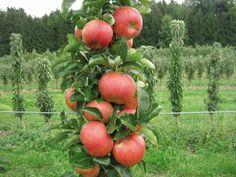 Особенности выращивания колоновидных яблонь  В РФ и странах СНГ самой популярной культурой является яблоня. Но на маленьких дачных участках невозможно разместить более 1-2 деревьев из-за широкой раскидистой кроны. Поэтому появление колоновидных культур, формирующих сравнительно большие урожаи, занимая небольшую площадь, привлекают внимание садоводов.