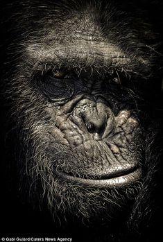 Wildlife photographer Gabi Guiard has created a stunning set of portraits showing the incredible expressive faces on chimpanzees Primates, Mammals, Beautiful Creatures, Animals Beautiful, Cute Animals, Wildlife Photography, Animal Photography, Regard Animal, Mundo Animal