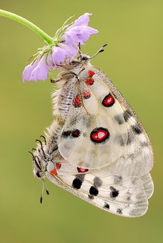 ~~Apollo ~ a very rare butterfly by ~struller~~