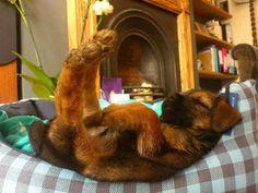 border terrier officially comfy