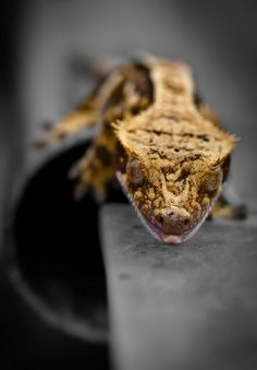 Crested Gecko.