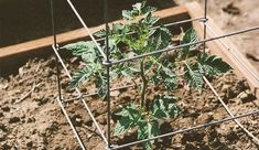Choose The Right Supports For Your Tomatoes - Soon it will be time to put your tomatoes in the ground, and to keep the growing plants upright and healthy, you'll need the right tools.