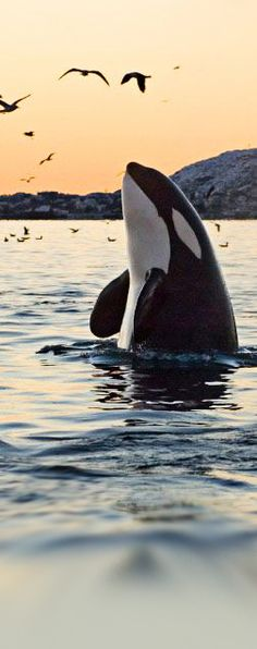 Orca Whale, photo by Hakan Karlsson.