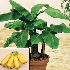 Dwarf Banana    Tropical Flair for Your Home    Imagine plucking tasty 4-in. bananas from your very own tree! 2- to 5-ft. plant adorned with large, glossy green leaves will produce fruit within 3-5 years. Potted