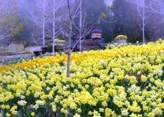 Daffodil Gardens, Running Springs  activerain.com