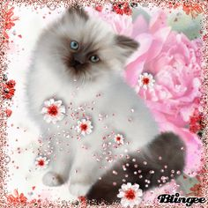 Beautiful Cats, Beautiful Flowers, Sweet Dreams Pictures, Cat Therapy, Himalayan Kitten, Cute Good Morning Quotes, Mouse Pictures, Christmas Animals, Loving U