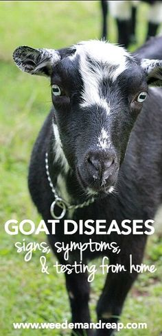 Goat Diseases: Signs, Symptoms, & Testing From Home || Weed 'Em and Reap