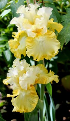 World of Irises: TALL BEARDED IRIS--FIRST-YEAR BLOOMS, 2014-- 'Overjoyed'