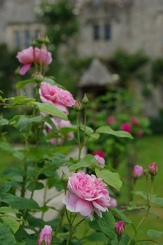 Roses in Kelmscott Manor by blackfacesheep LOVE Kelmscot, former home to William Morris of the Arts and Crafts movement.