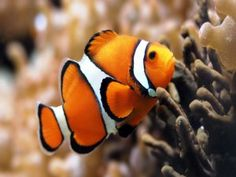 Un bonito pez payaso