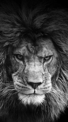 #lion #nature #black&white #photography