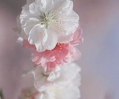 Afbeelding via We Heart It https://weheartit.com/entry/165715257/via/32289496 #blossom #colour #dreamy #flowers #happy #nature #photography #pink #pretty #spring #springtime #sunlight