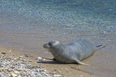 Samos, Monk Seal, The Monks, Activists, Animal Rights, Conservation, 6 Months, Lost, Age