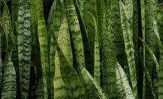 De origem africana, a espada de São Jorge é uma planta que exige pouca manutenção e apresenta grande resistência. Deve ser plantada em lugares com meia sombra, tolerando tanto ambientes iluminados quanto sem luz alguma. Consegue aguentar situ...