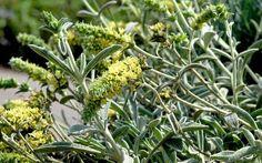 Griechischer Bergtee (Pflanze) - Sideritis syriaca | Teekräuter | Nach Verwendung | Versand-Gärtnerei Rühlemann's Kräuter und Duftpflanzen