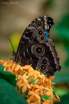 Blue Morpho / 500px Blue Morpho, Butterflies, Butterfly, Bow Ties, Papillons