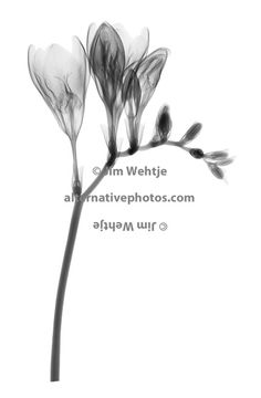 X-ray image of Freesia flowers (Freesia, black on white) by Jim Wehtje, photo specialist in x-ray art and design images.