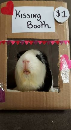 The Excellent Adventure Sanctuary (for guinea pigs with extra needs), Northampton, Northamptonshire. A specialist sanctuary supporting guinea. Funny Animal Memes, Funny Animal Pictures, Funny Animals, Baby Guinea Pigs, Guinea Pig Care, Hamsters, Guine Pig, Raising Farm Animals, Cute Piggies