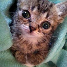lil bub 6 weeks 6 ounces kitten