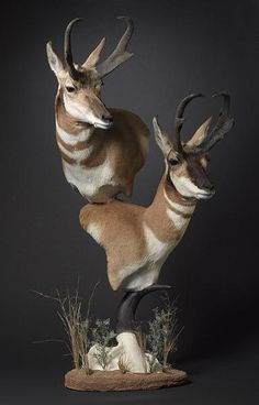✩ Check out this list of creative present ideas for people who are into photograhpy Taxidermy Decor, Taxidermy Display, Antelope Hunting, Hunting Themes, Deer Mounts, Deer Photos, Wildlife Decor, Trophy Rooms, Museum Exhibition