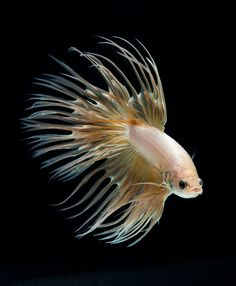 Gold Crowntail Betta Fish