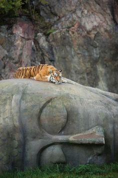 congenitaldisease: A tiger resting on the head of a Buddha statue.