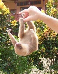 Baby sloth so cute!