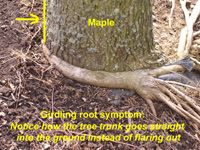 girdle root
