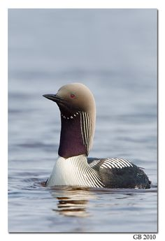 I've never seen a Pacific Loon before. They share the same shapes, patterns, and red eyes as their cousins the Common Loons. Very nice.