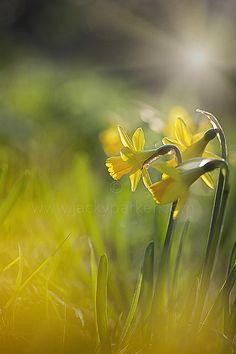Spring Sunshine & Daffodils