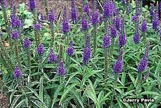 """Veronica, or speedwell, is a roadside plant with masses of pretty flowers that """"speed you well."""" In Ireland, a bit of the perennial plant was pinned onto clothes to keep travelers from accidents."""