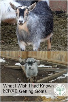 Getting goats is a step toward your own self sufficiency, even for a small time homesteader like me. What I wish I had known before we got our first goats. The Homesteading Hippy Female Goat, Happy Goat, Goat Care, Nigerian Dwarf Goats, Raising Goats, Raising Chickens, Mini Farm, Goat Farming, Backyard Farming