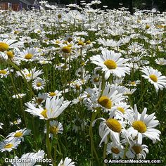 One of the toughest perennial wildflowers, OxEye Daisy is famous for painting entire roadsides white throughout the country. This variety is extremely easy to grow and delights with gorgeous 'She loves me, she loves me not' flowers in the summer garden or meadow. OxEye Daisies bloom profusely, offering plenty of flowers to cut for gorgeous summer bouquets. This variety is prohibited in some states, so please check before planting. All of the seed we handle at American Meadows is non-GMO…