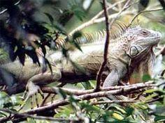 Iguana - Nicaragua